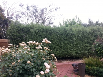 Pittosporum side hedge before