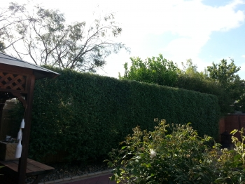 Pittosporum side hedge after
