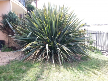 Large Cordyline before removal