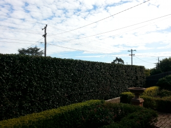 Rear formal hedge